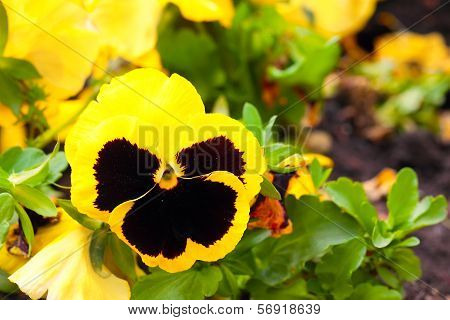 Pansy Yellow Flowers On Flower Bed