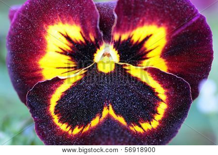 Maroon-yellow Pansy Flower macro view