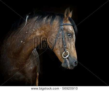 Appaloosa Stallion On Black