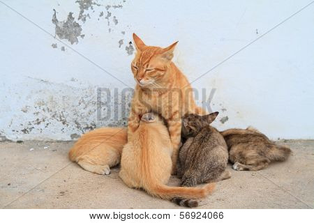 Four kittens brood feeding by mother cat