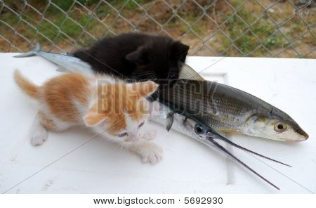 Kittens With Fishes