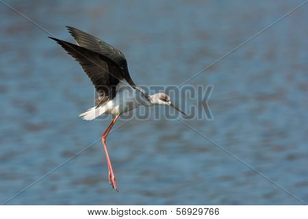 Black-winged Stilt (himantopus Himantopus) In Mid Flight Or Hop