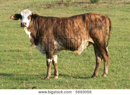 Brown brahma cow