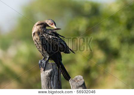 Long-tailed Cormorant (phalacrocorax Africanus) Preening