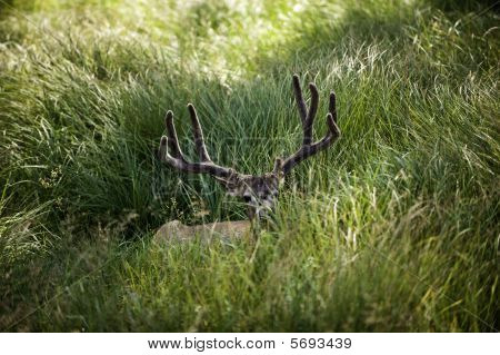 Deer Laying In The Meadow