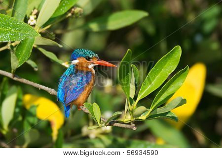 Malachite Kingfisher (alcedo Cristata)