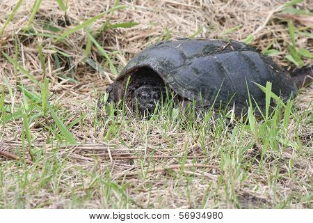 Snapping turtle, Common -Chelydra serpentina