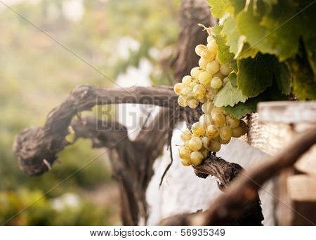 Bunch Of White Grapes In The Vineyard