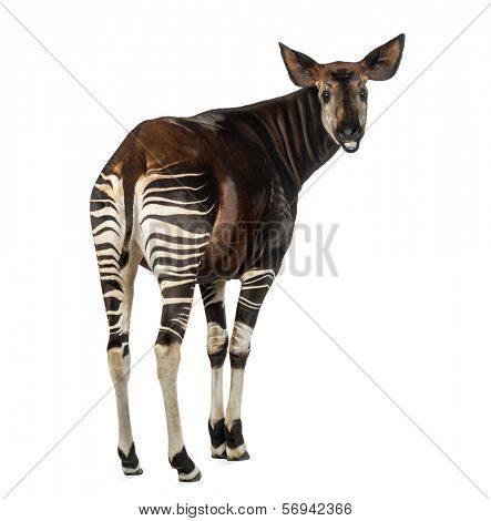 Rear view of an Okapi, looking back and mooing, Okapia johnstoni, isolated on white