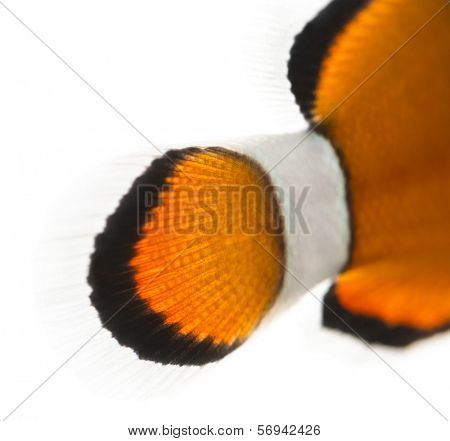 Close-up of an Ocellaris clownfish's caudal fin, Amphiprion ocellaris, isolated on white