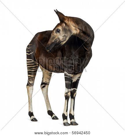 Okapi standing, looking back, Okapia johnstoni, isolated on white