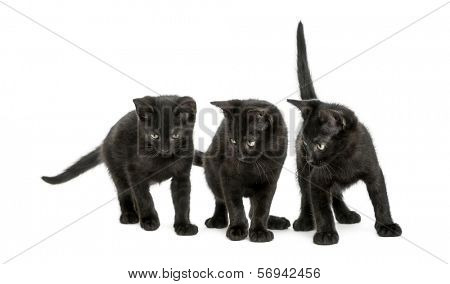 Three Black kittens standing, looking down, 2 months old, isolated on white