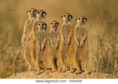 Família Suricate (Meerkat)