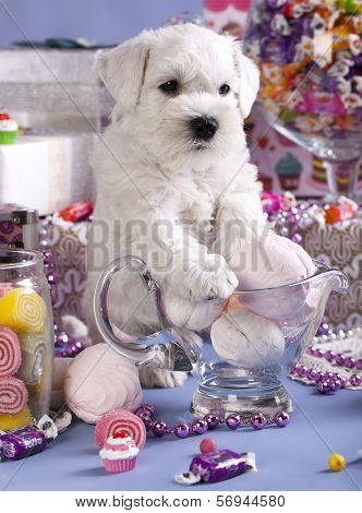 Miniature Schnauzer, candy and dog