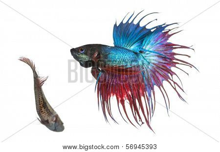 Male and female Siamese fighting fish in a courtship dance, Betta splendens, isolated on white