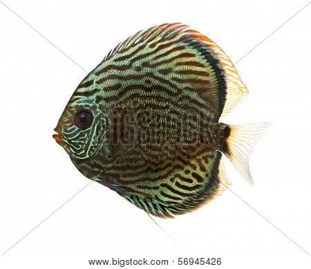 Side view of a Blue snakeskin discus, Symphysodon aequifasciatus, isolated on white