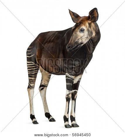 Okapi standing, looking away, Okapia johnstoni, isolated on white