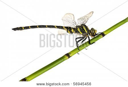 Side view of a Cordulegaster bidentata landed on a plant, isolated on white
