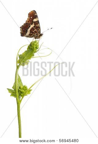 Side view of a Map butterfly landed on a wild plant, Araschnia levana, isolated on white