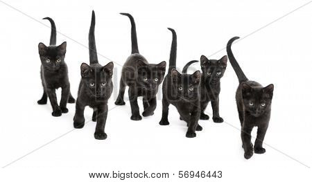 Front view of a Group of Black kitten walking in the same direction, 2 months old, isolated on white