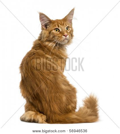 Rear view of a Maine Coon kitten sitting, looking up, 4 months old, isolated on white