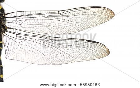 Macro of a Cordulegaster bidentata's wings, isolated on white