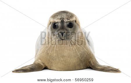 Front view of a Common seal lying, facing, Phoca vitulina, 8 months old, isolated on white