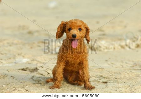 brown toy poodle
