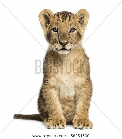 Lion cub sitting, looking at the camera, 10 weeks old, isolated on white
