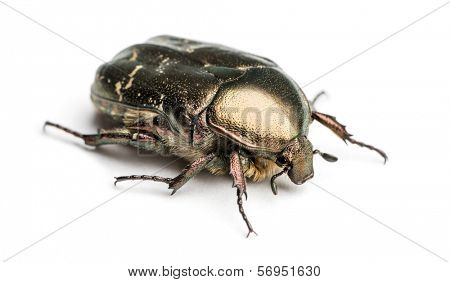 Rose chafer viewed from up high, Cetonia aurata, isolated on white