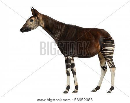 Side view of an Okapi standing, Okapia johnstoni, isolated on white