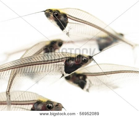 Close-up of a Ghost catfishes school, Kryptopterus minor, isolated on white