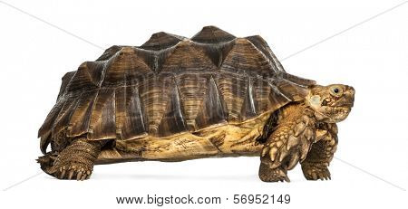 Side view of an African Spurred Tortoise standing, Geochelone sulcata, isolated on white