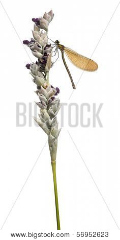 Side view of a Beautiful Demoiselle female landed on a flowering plant, Calopteryx virgo, isolated on white