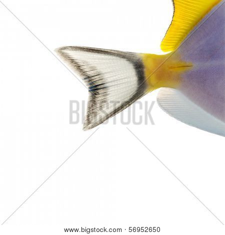 Close-up of a Powder blue tang's caudal fin, Acanthurus leucosternon, isolated on white