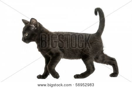 Side view of a Black kitten walking, 2 months old, isolated on white
