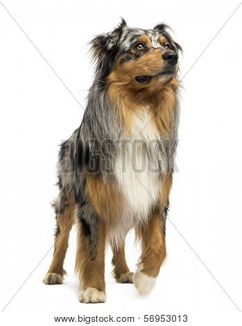 Australian shepherd blue merle standing, looking up, 4 years old, isolated on white
