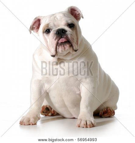 cute puppy - english bulldog puppy sitting looking at viewer isolated on white background - female 6 months old