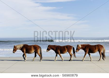 Three wild horses walking along the beach in Corolla, NC.