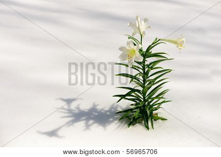 Easter Lilies In Snow