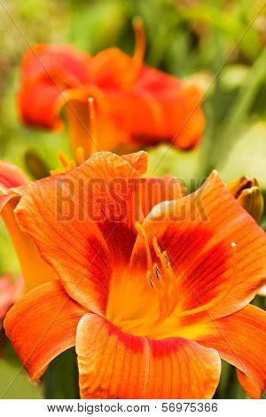 Summer Flowers Orange Daylilies In Garden