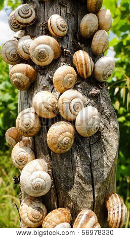 Many Snails Are Gattering On A Wooden Pole