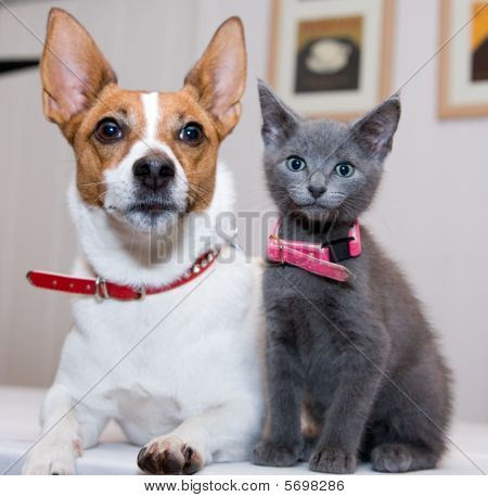 Grey Kitten Sitting By Jack Russell Terrier