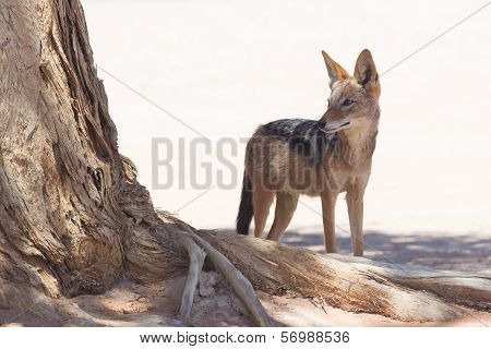 Black-backed Jackal In African Desert