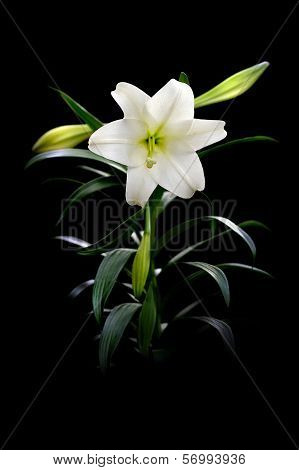 Easter Lily On Black