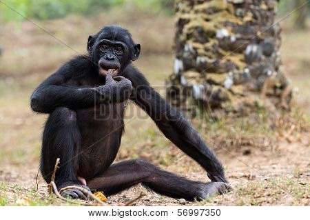 Cub Of A Chimpanzee Bonobo