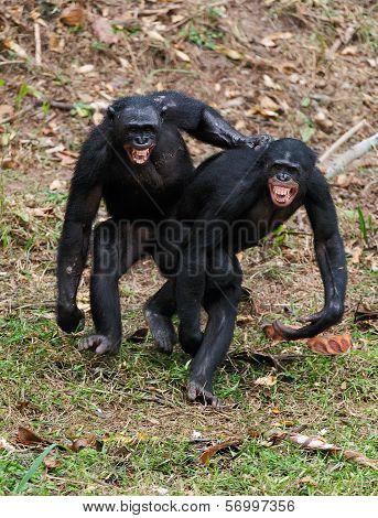 Males Bonobo  Mating