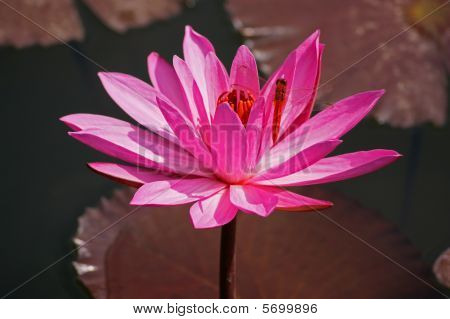 A pink lotus and a dragonfly