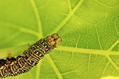 Grapevine Moth Caterpillar