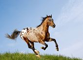 picture of appaloosa  - appaloosa stallion on a nature in a field - JPG